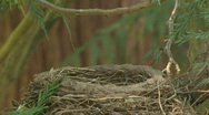 Stock Video Footage of American Robin feeding babies birds in nest