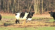 Stock Video Footage of Cow Mooing