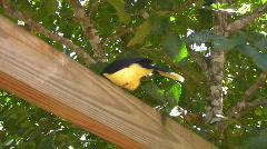 Iguazu Falls Black and Yellow Bird Nat Sound Stock Footage