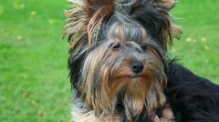 Stock Video Footage of portrait of Yorkshire terrier, green grass in background