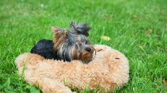 Yorkshire terrier Lies, then runs to play, green grass in background Stock Footage