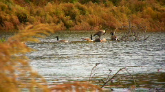 geese on a windy day at lake Stock Footage