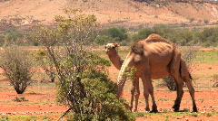 walking camel - stock footage