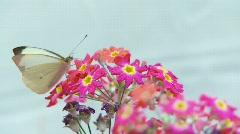 Una mariposa blanca se alimenta de una flor y despúes vuela. Stock Footage
