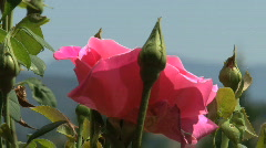 Roses gently sway in wind  Stock Footage
