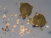 Stock Video Footage of Trachemys scripta. Turtles
