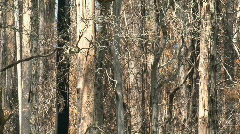 Zoom-out burned trees Stock Footage