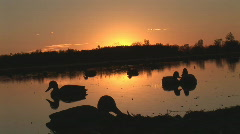 Duck Hunting Decoys - stock footage