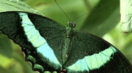 Stock Video Footage of Butterfly