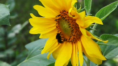 Humble-bee sits on yellow beautiful flower in nature in summer Stock Footage