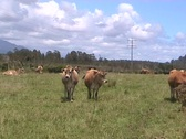 Redcows Stock Footage