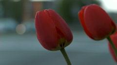 Stock Video Footage of tulip