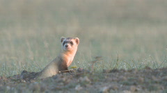 P00315 Black-footed Ferret on Prairie Stock Footage