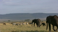 Elephants in the plains 1 Stock Footage