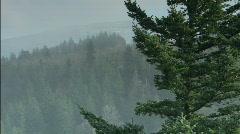 Evergreen tree - stock footage