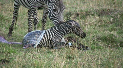 New born zebra  5 Stock Footage