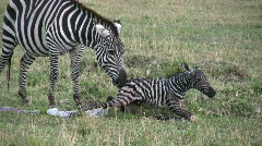 New born zebra  3 Stock Footage
