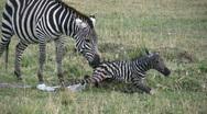 New born zebra  3 Stock Footage