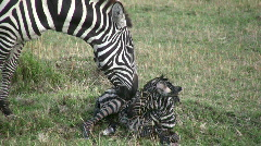 New born zebra  1 Stock Footage