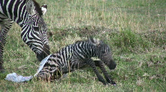 New born zebra  tries to stand up Stock Footage