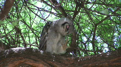 Owl scratching Stock Footage
