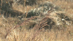 Backlite grass at sunrise Stock Footage