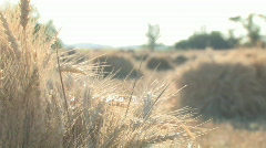 Backlite wheat stalk rack focus 002 - stock footage