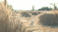 Backlite wheat stalk rack focus 002 Stock Footage
