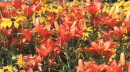 Orange Lily flowers Stock Footage