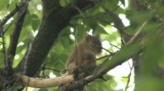 Red squirrel in Maple tree 002 - stock footage