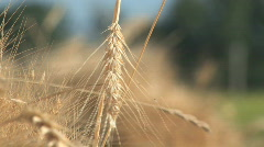 Wheat Stukes at Sunrise - stock footage