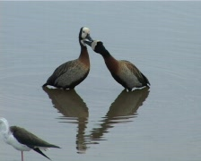 White faced ducks kissing,with reflection Stock Footage