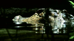 Caiman - stock footage