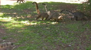 Stock Video Footage of Iguazu Falls Koatis at Play 2