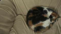 Stock Video Footage of Sleeping Calico Cat