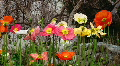 Poppies in various colors Footage