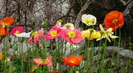 Poppies in various colors Stock Footage