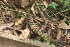 Brazil-Igazu-Falls-Tegu-Lizard Stock Footage