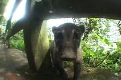 Brazil-Iguazu-Falls-Baby-Quati Stock Footage