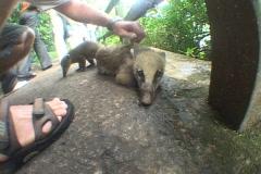 Brazil-Iguazu-Falls-Petting-Quati Stock Footage