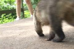 Brazil-Iguazu-Falls-Quati Stock Footage