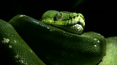 Green tree python, - stock footage