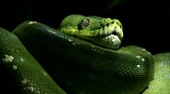 Stock Video Footage of  Green tree python,