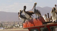 Pelicans perched on boat Stock Footage