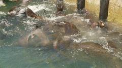 Sealions and birds thrashing Stock Footage