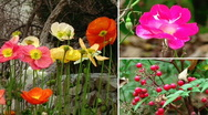 Poppies and Berries Stock Footage