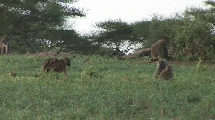 Baboon baby switches back adult Stock Footage