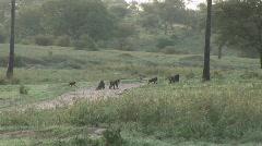 herd baboons crossing road - stock footage