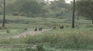 Stock Video Footage of herd baboons crossing road