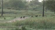Stock Video Footage of herd baboons crossing road